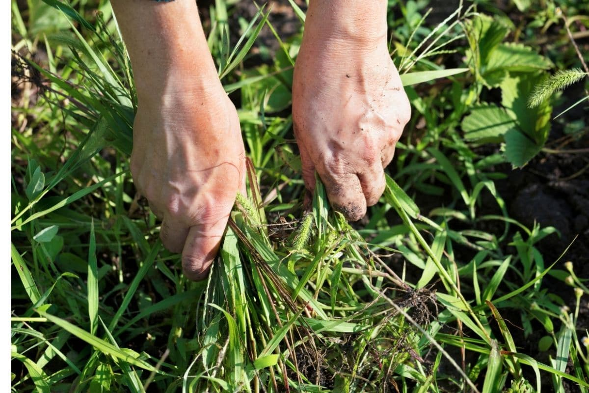 pulling out weeds from the ground