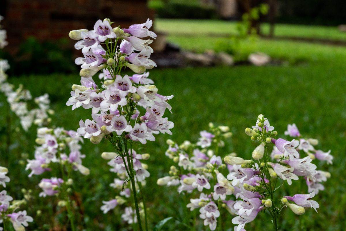 beardtongue in a garden