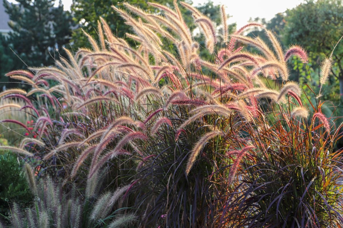 fountain grass in garden