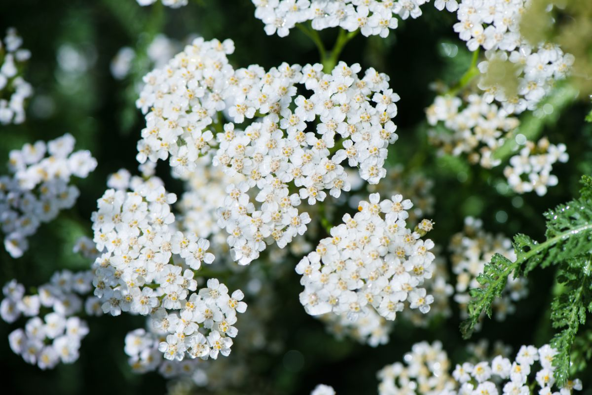 blooming white achillea