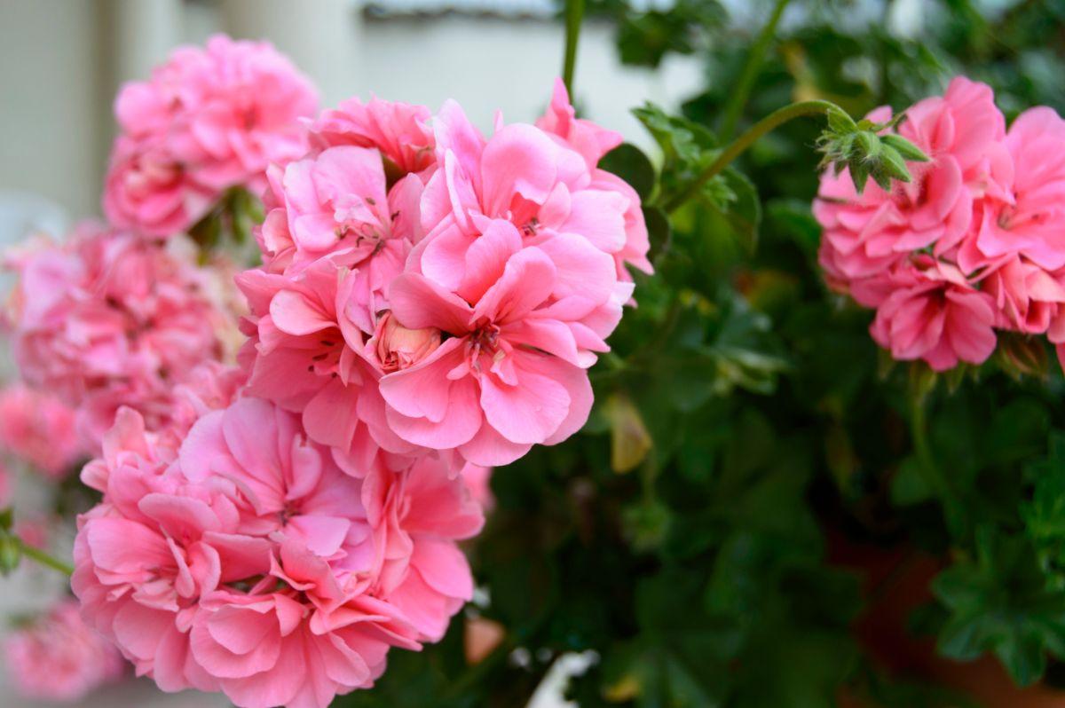 blooming pink geranium