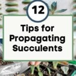 Tips for Propagating Succulents