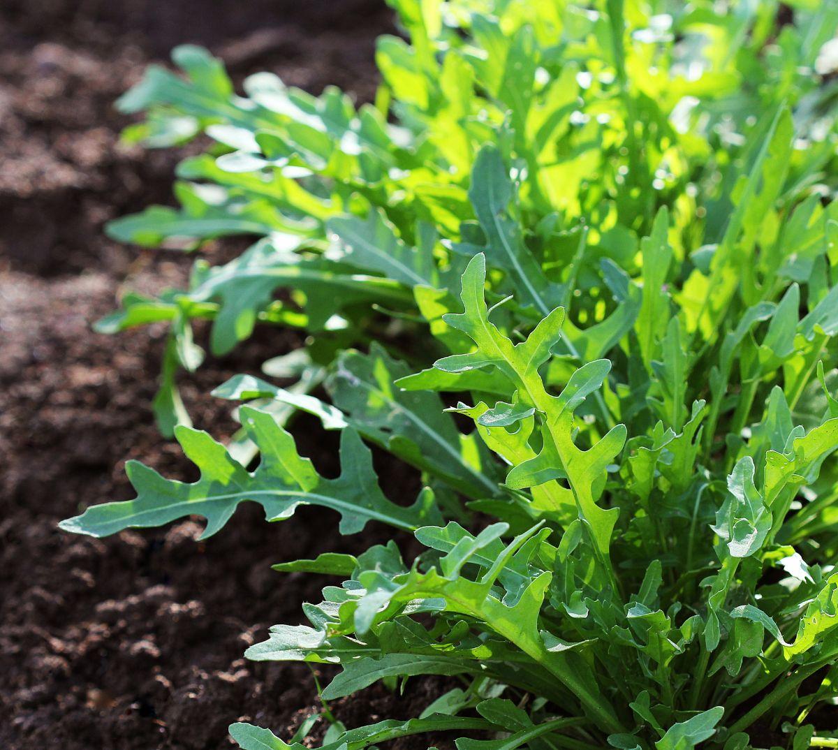 arugula plant growing in a vegetable garden