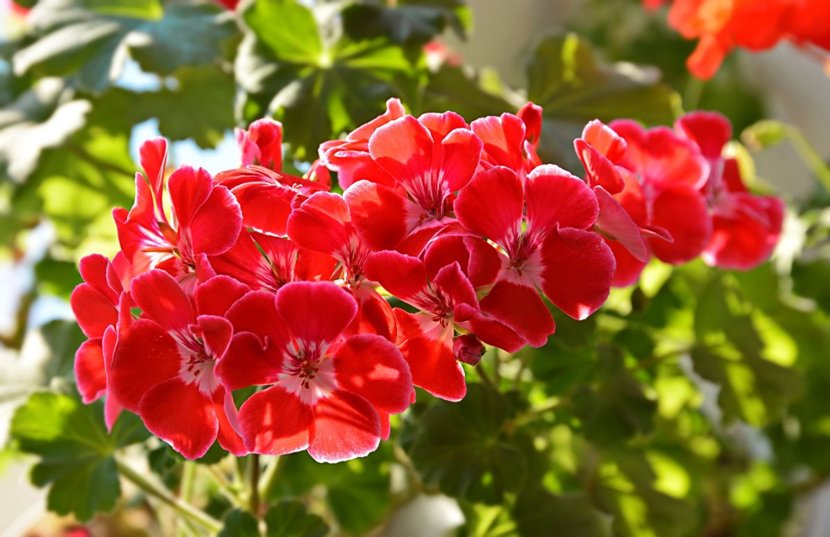 beautiful red geranium flowers in a garden