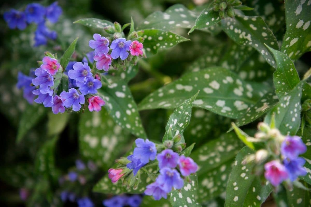 lungwort plant with purple and pink flowers in the garden