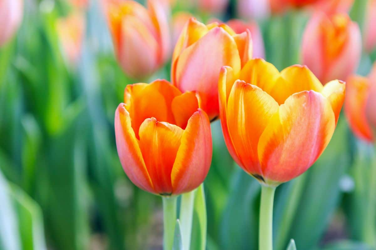 Orange and yellow colored tulips