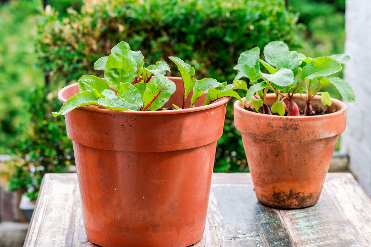 growing beets in a pot outdoors