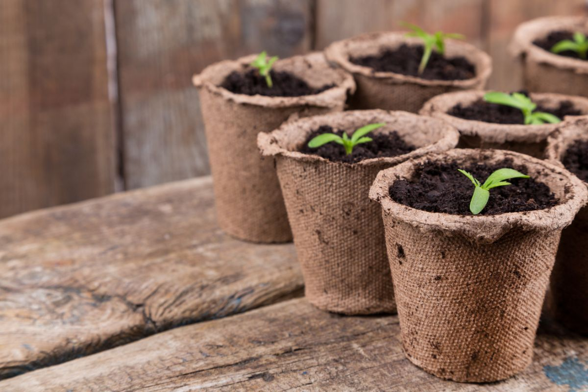 small sprouts of seedlings in a biodegradable pot