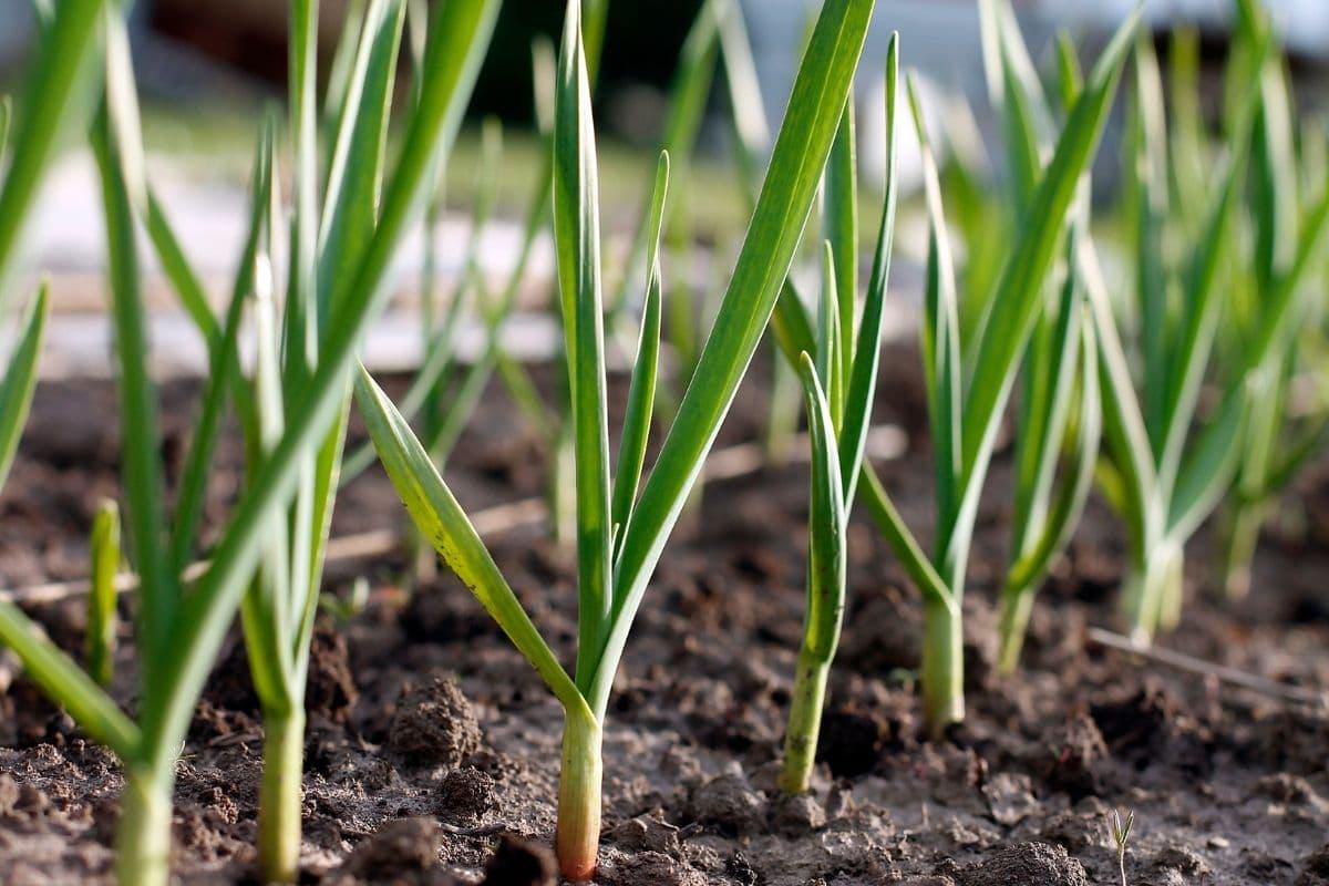 growing garlic in the garden