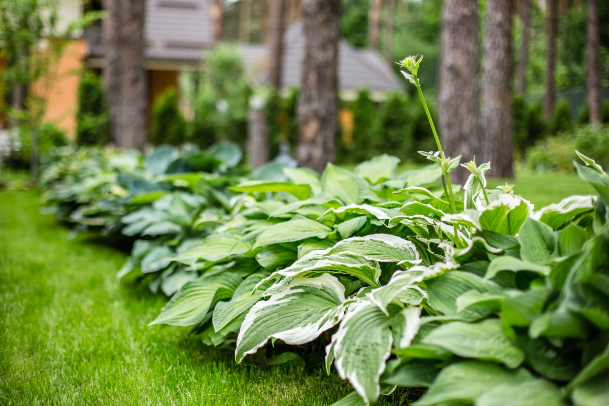 hosta plants in the park