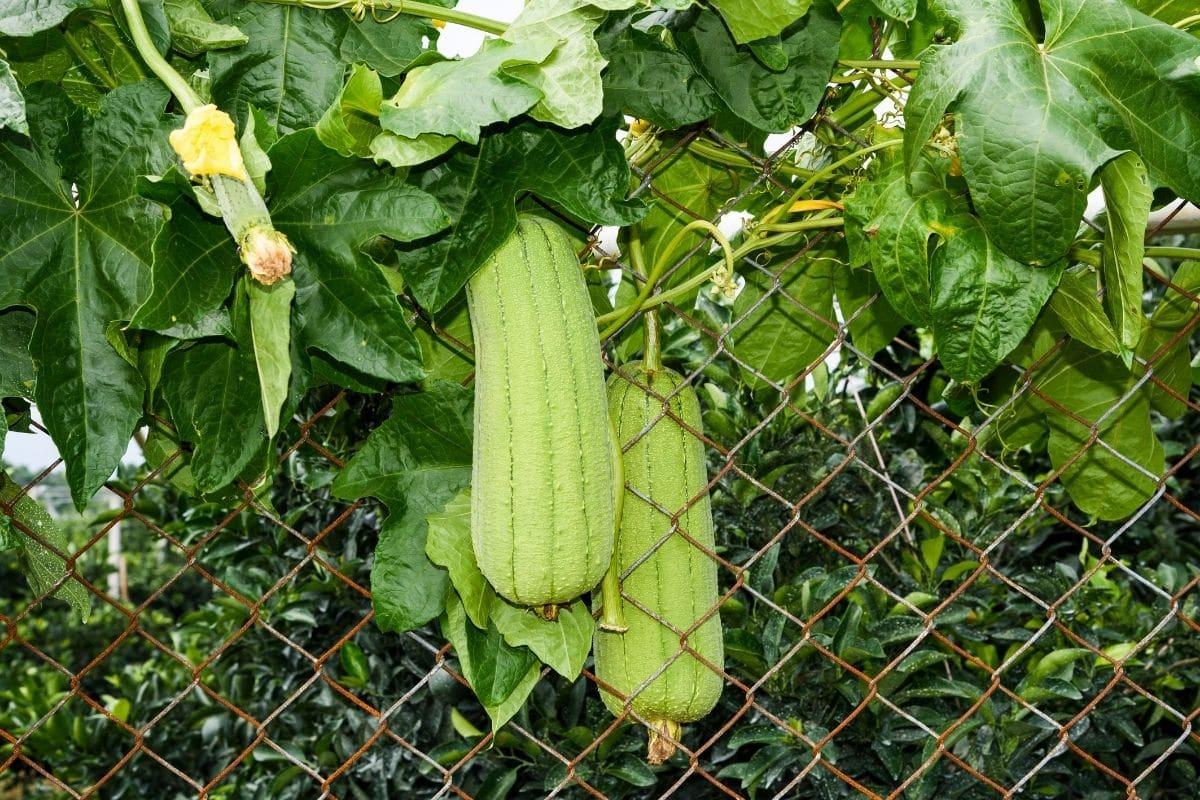 green loofah hanging in the backyard garden