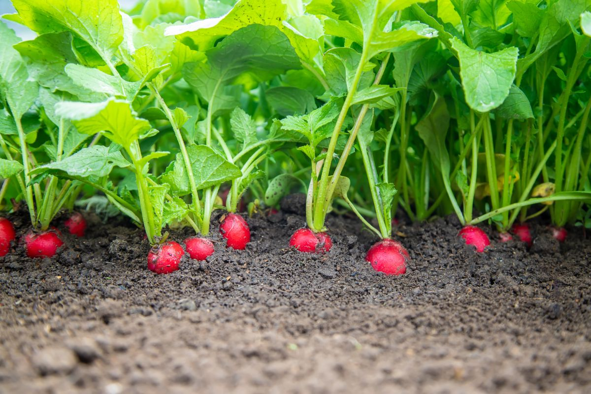 growing radishes in the garden