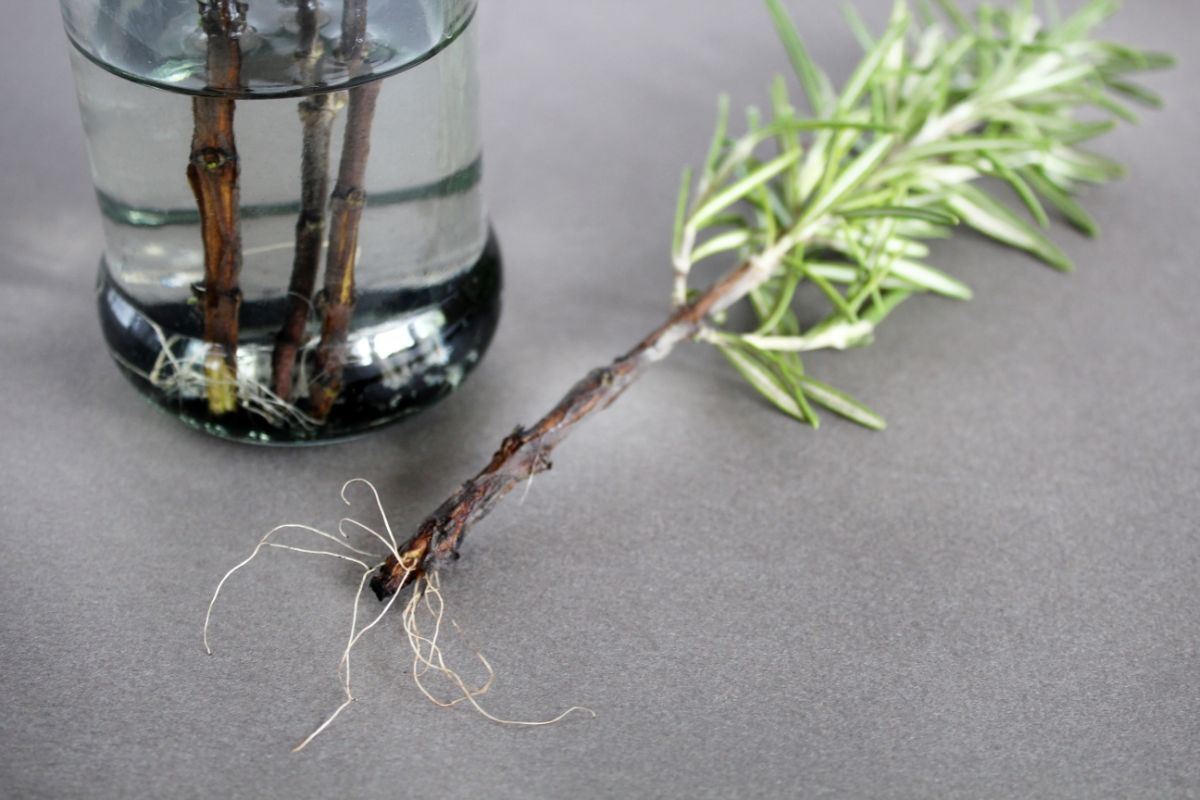 rosemary roots in a water