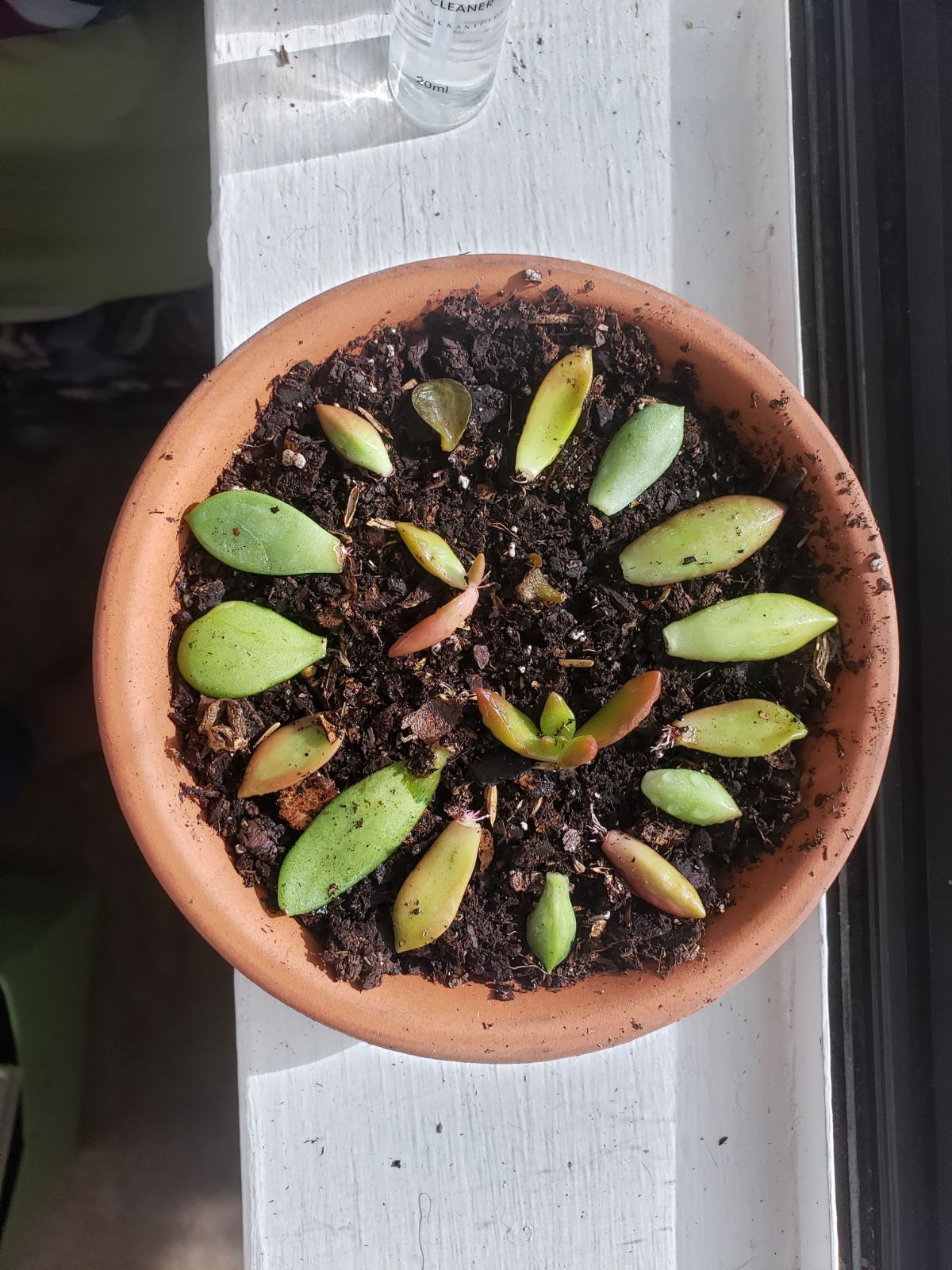 propagating succulent in a pot beside the window
