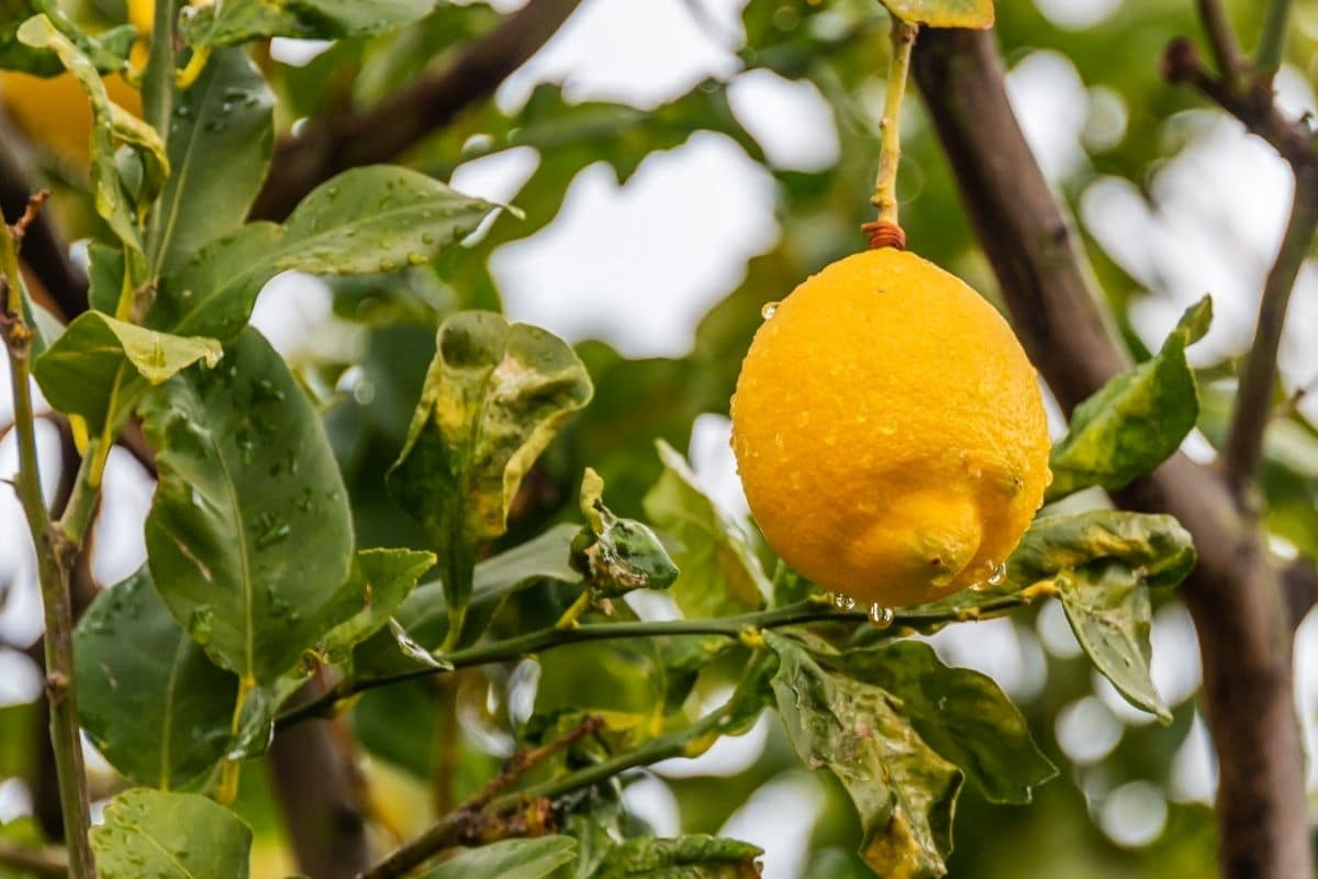 lemon fruit hanging from a tree with water droplets