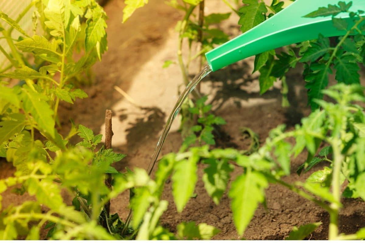 watering tomato plant