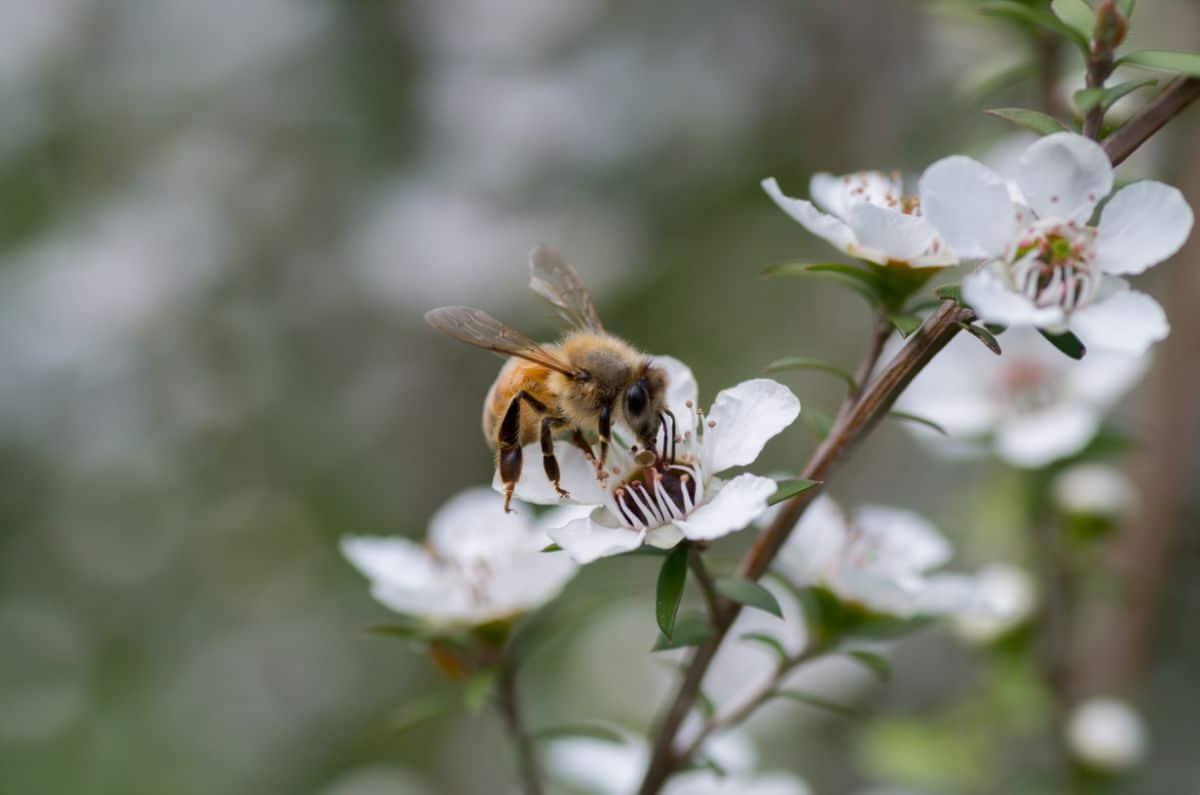 bee feeding from a white new zealand tea trea