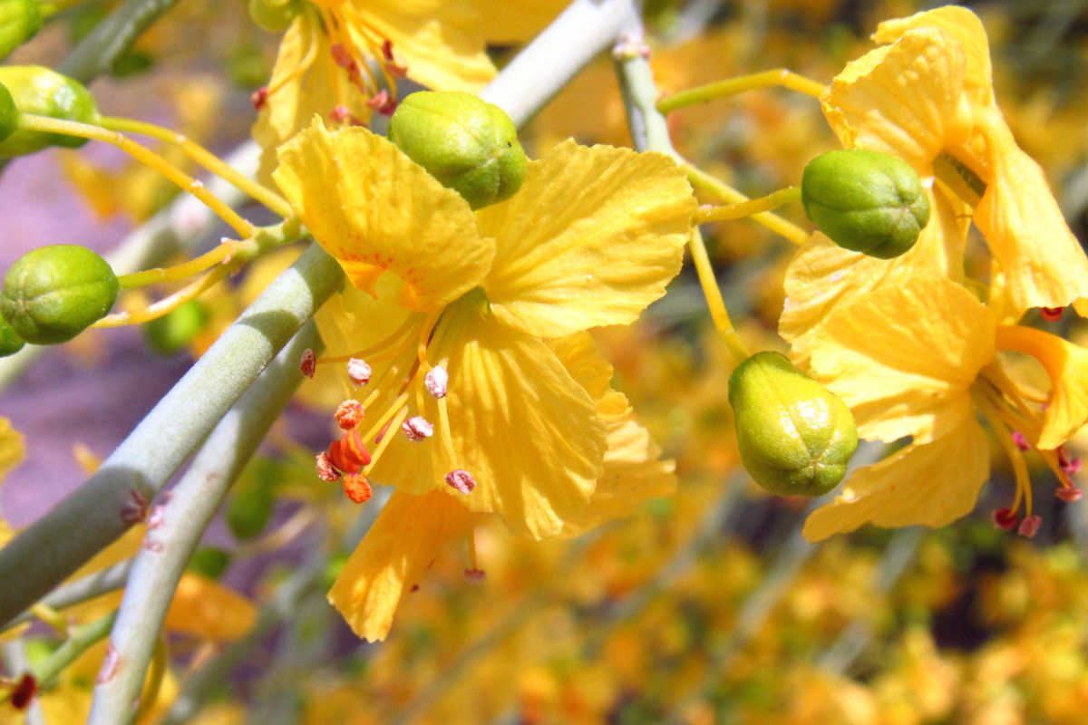 yellow palo verde flower