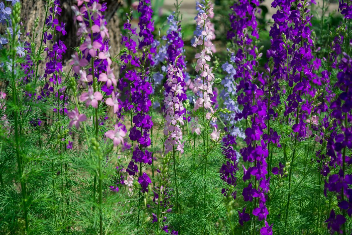 field of larkspur