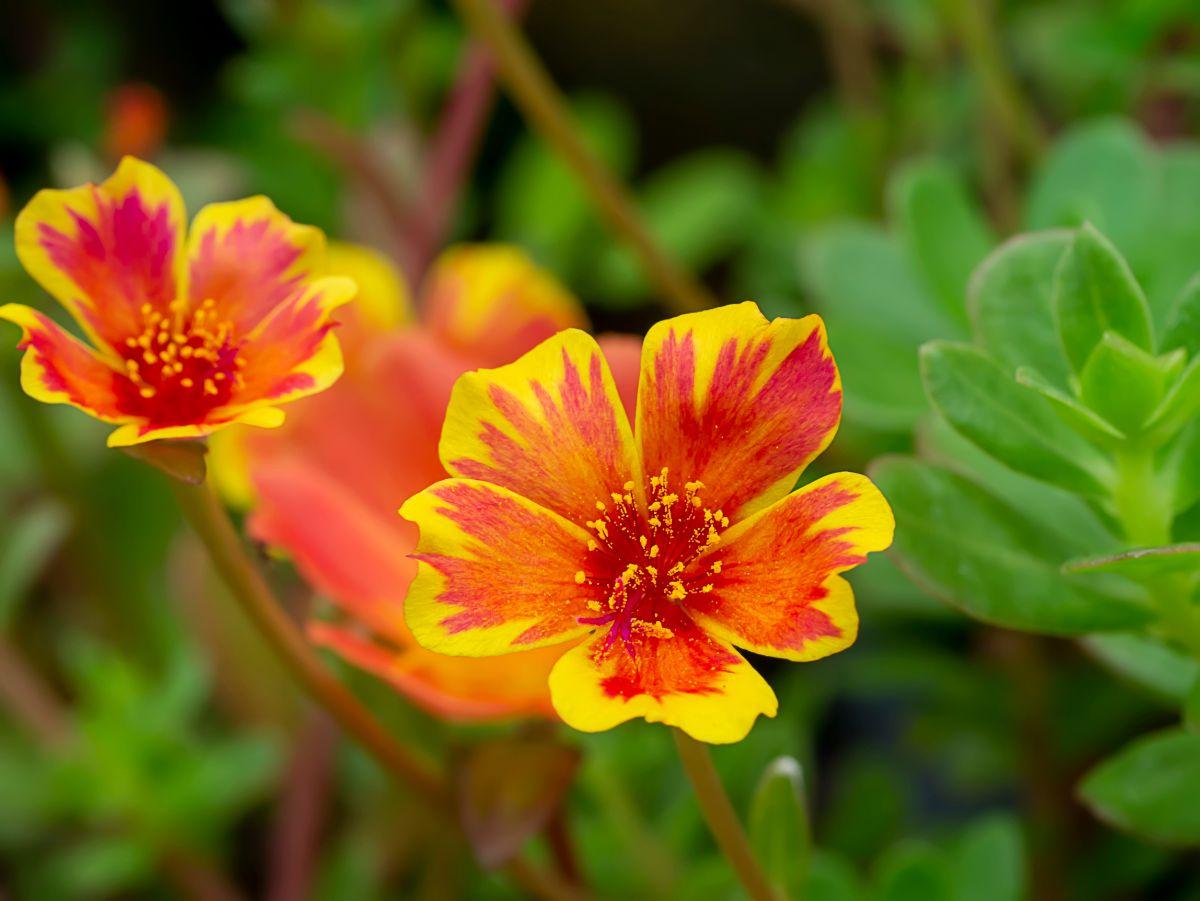 blooming portulaca