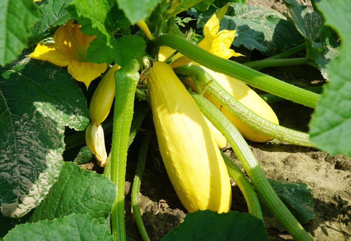 yellow squash in a vegetable garden