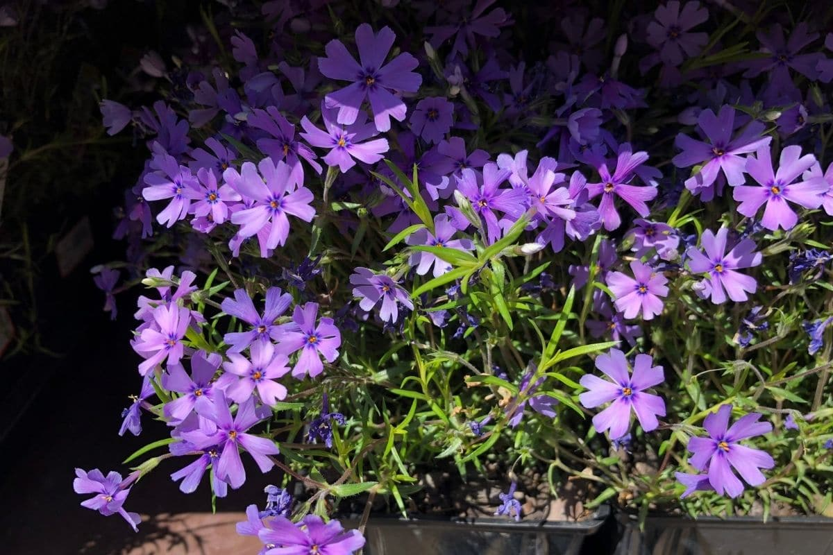 phlox plant in a pot with a shade of light