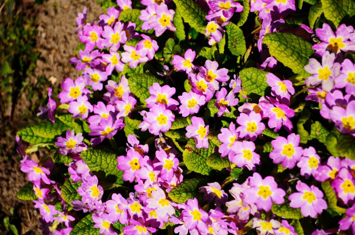 pink primroses in the garden