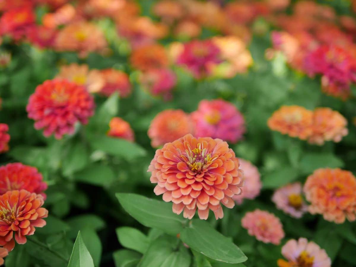 filed of orange zinnia flowers