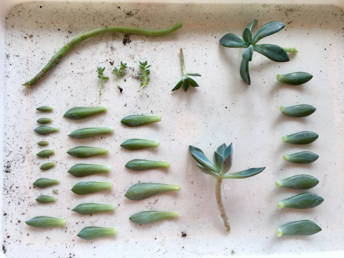 succulent leaves and parts prepared for propagation