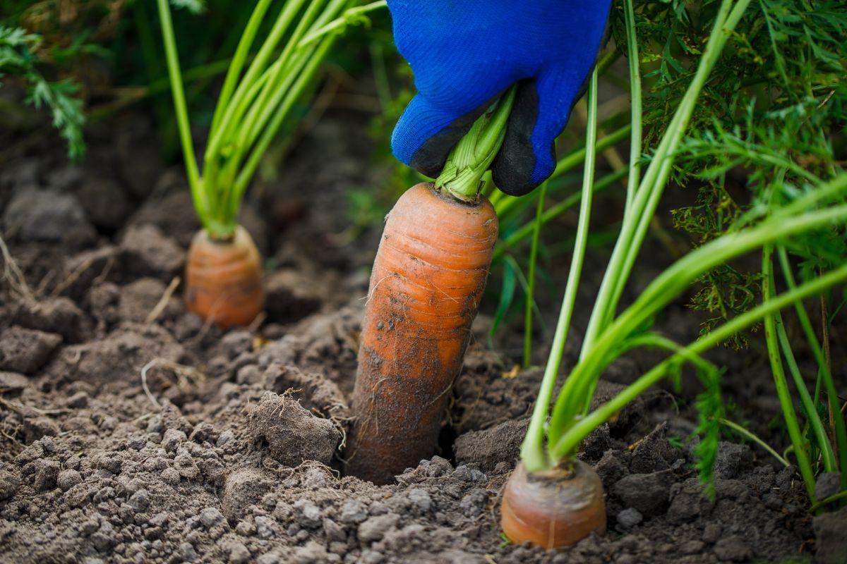 Harvesting carrots in the garden