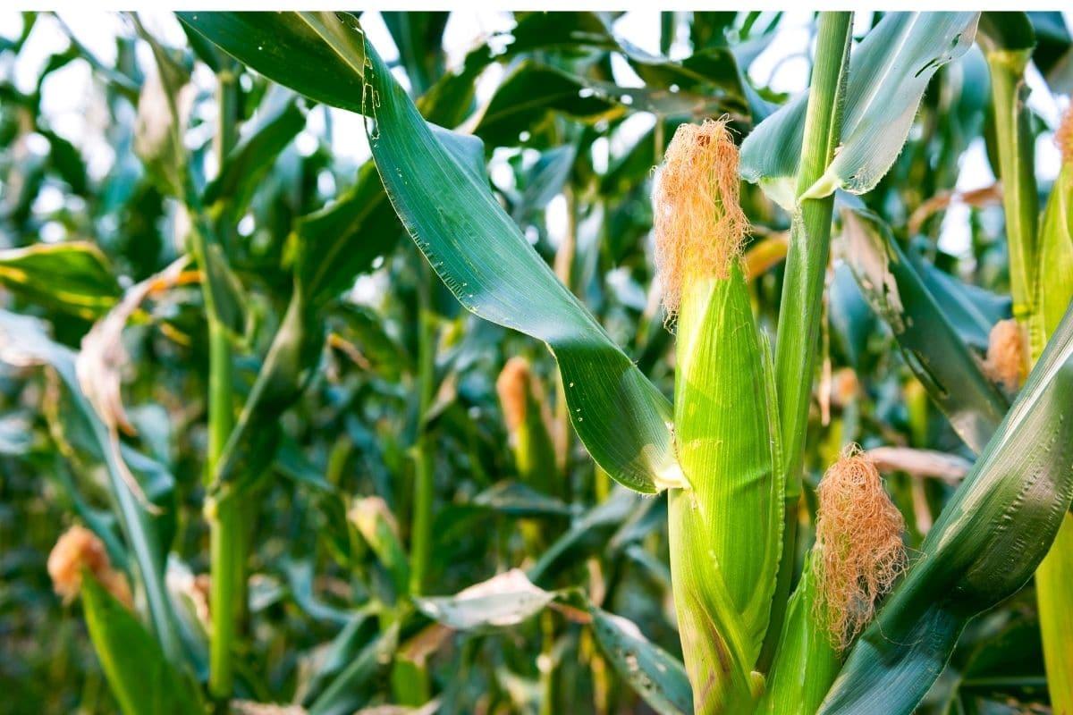growing corn in the field