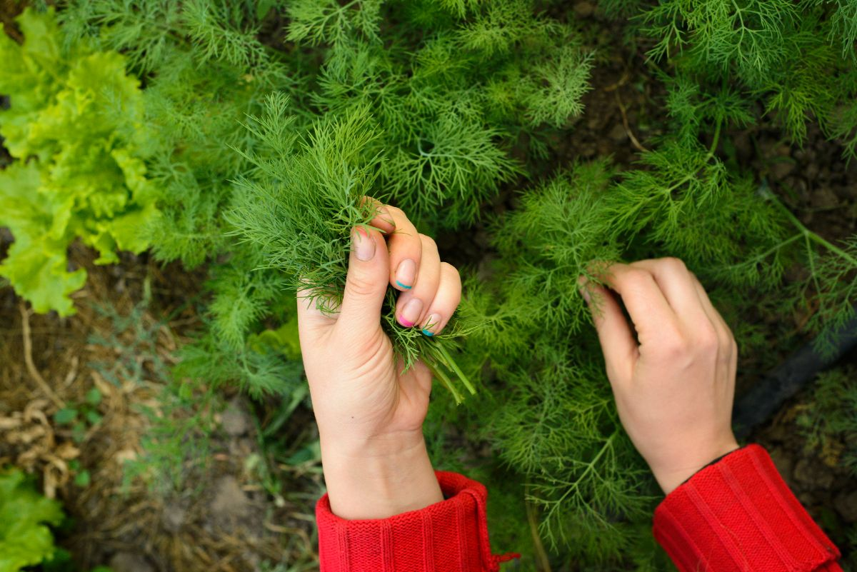 picking dills from the herb garden