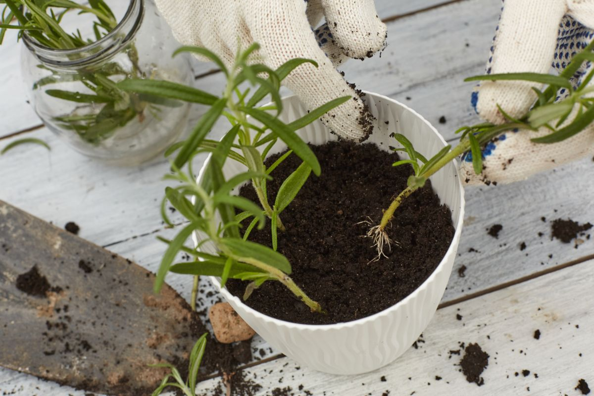 repotting a rosemary cuttings