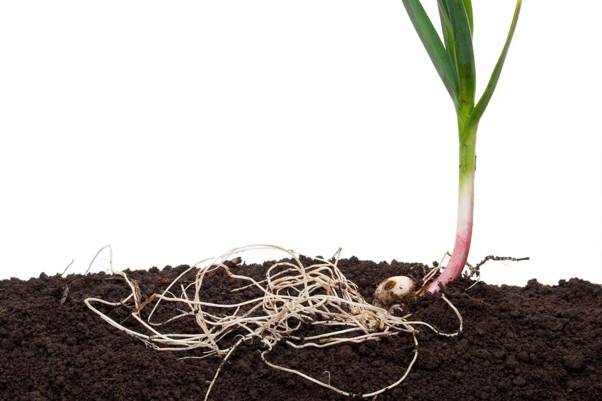 garlic plant showing the roots in the soil