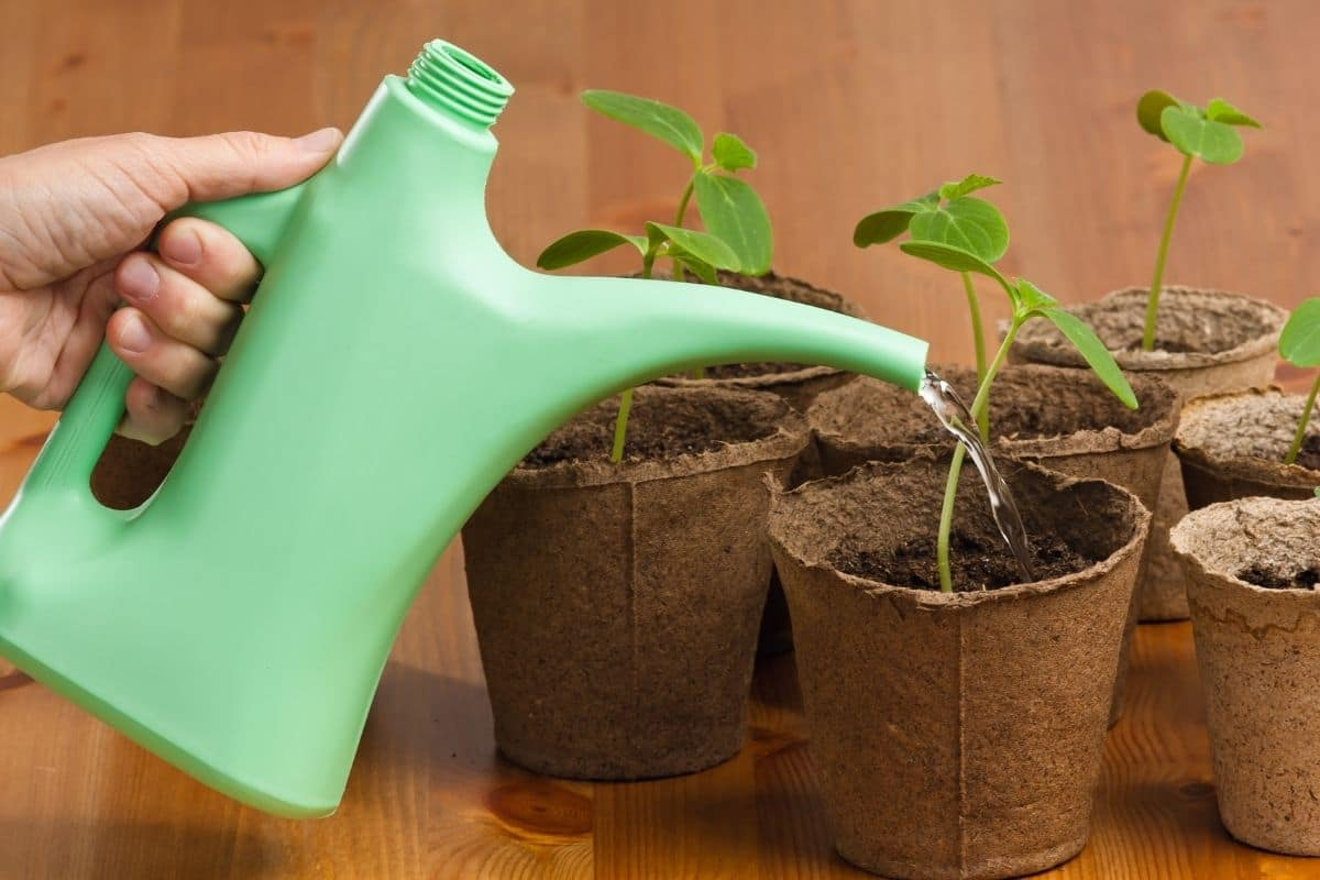 watering small plants in a biodegradable cups