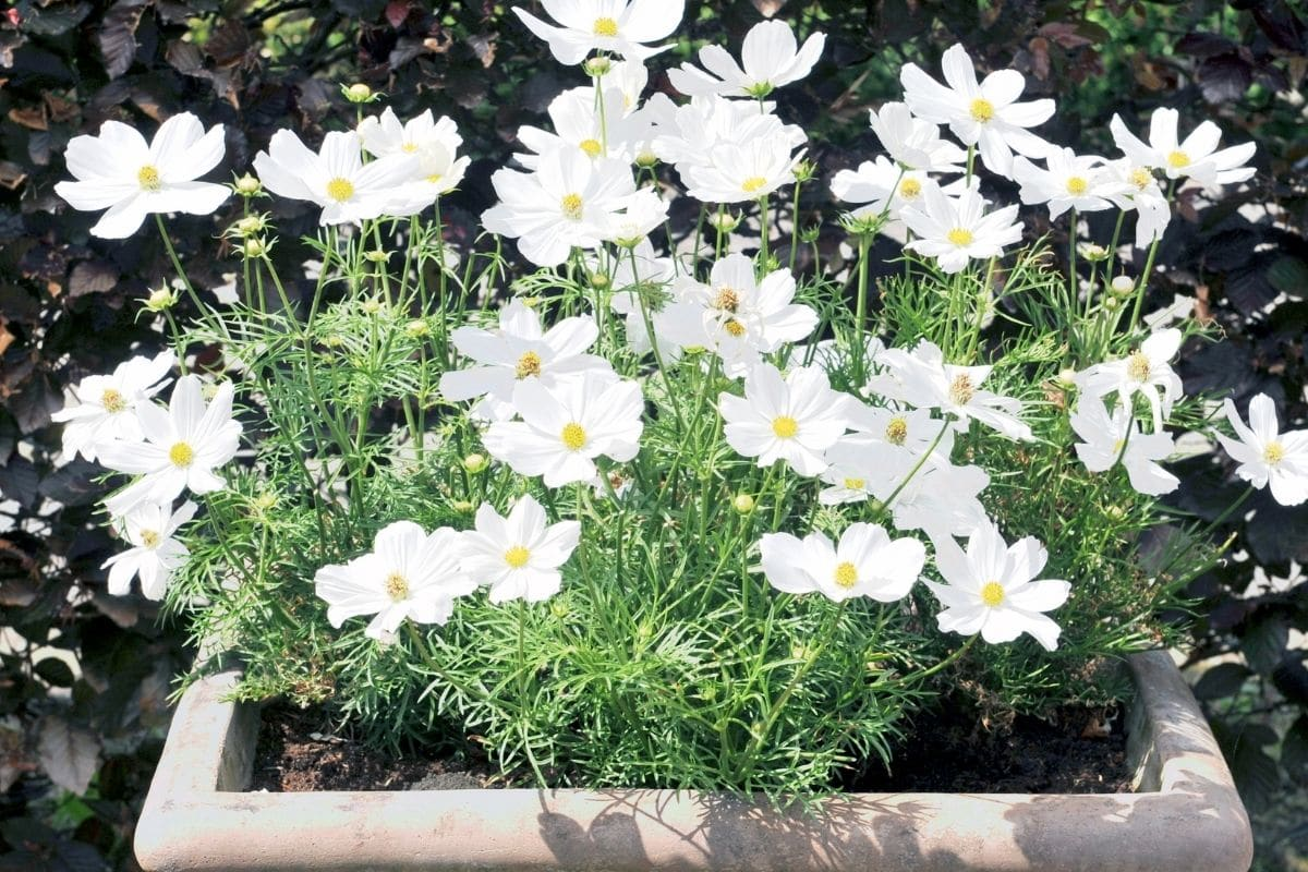 white coreopsis blooming in sunlight planted in a pot