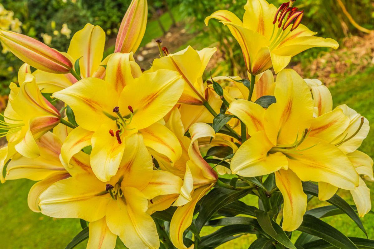beautiful yellow lily flowers