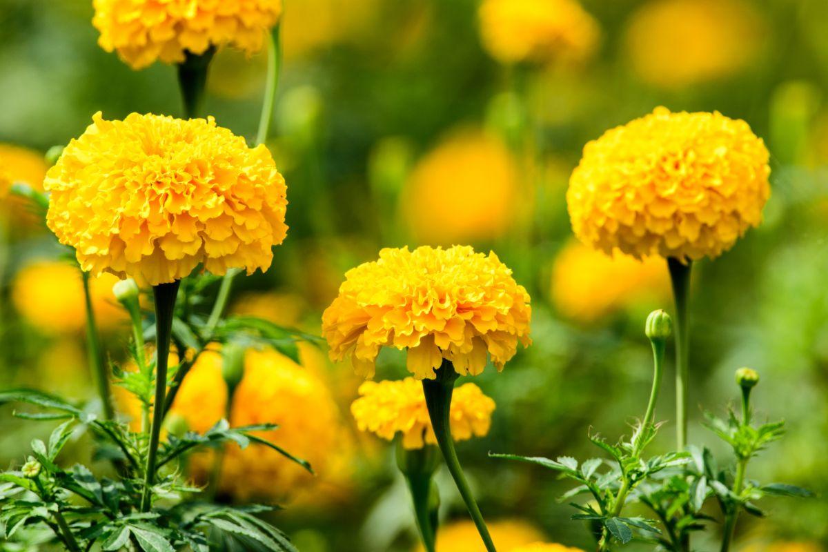 bright marigold flowers in a garden