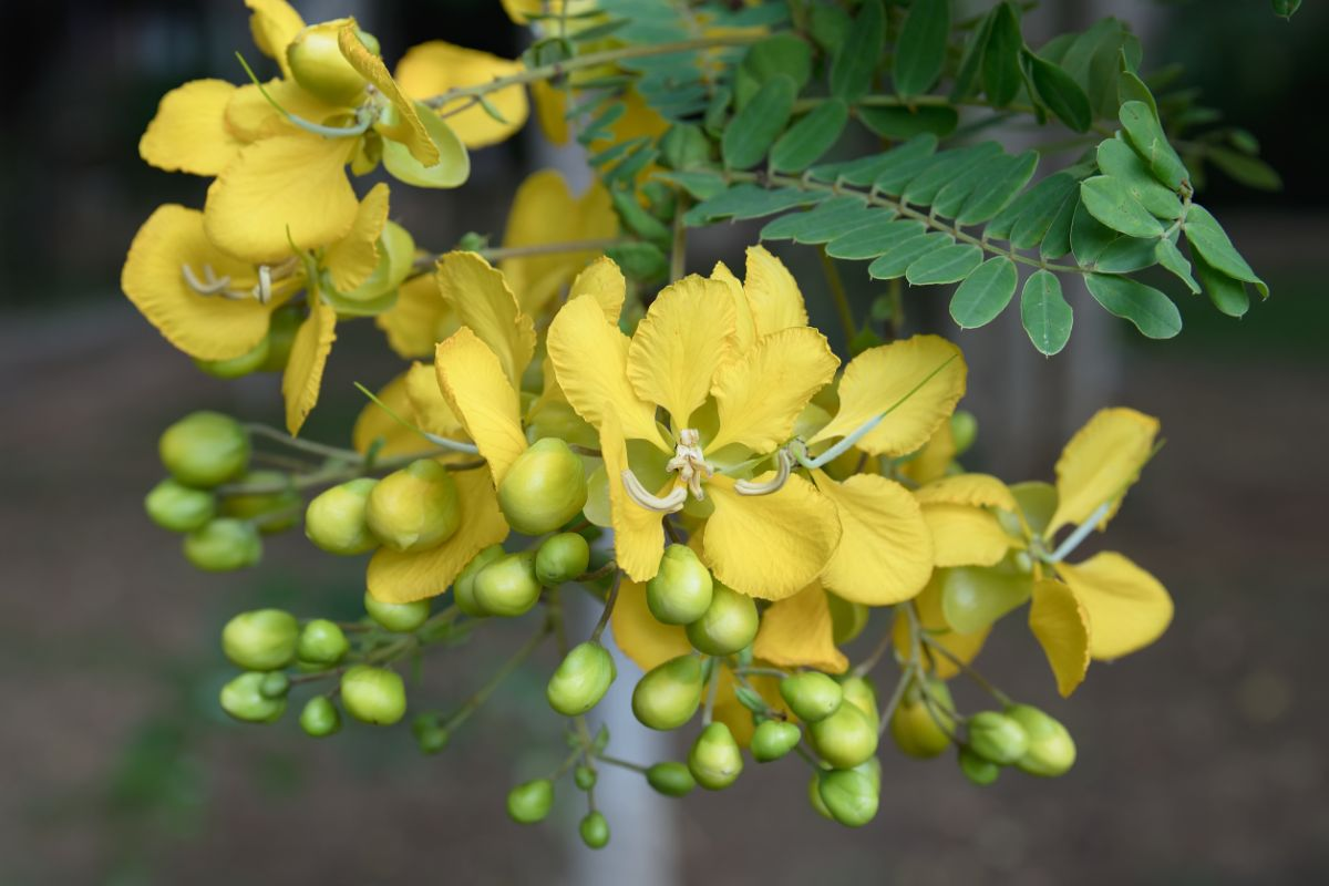 blooming yellow patridge pea