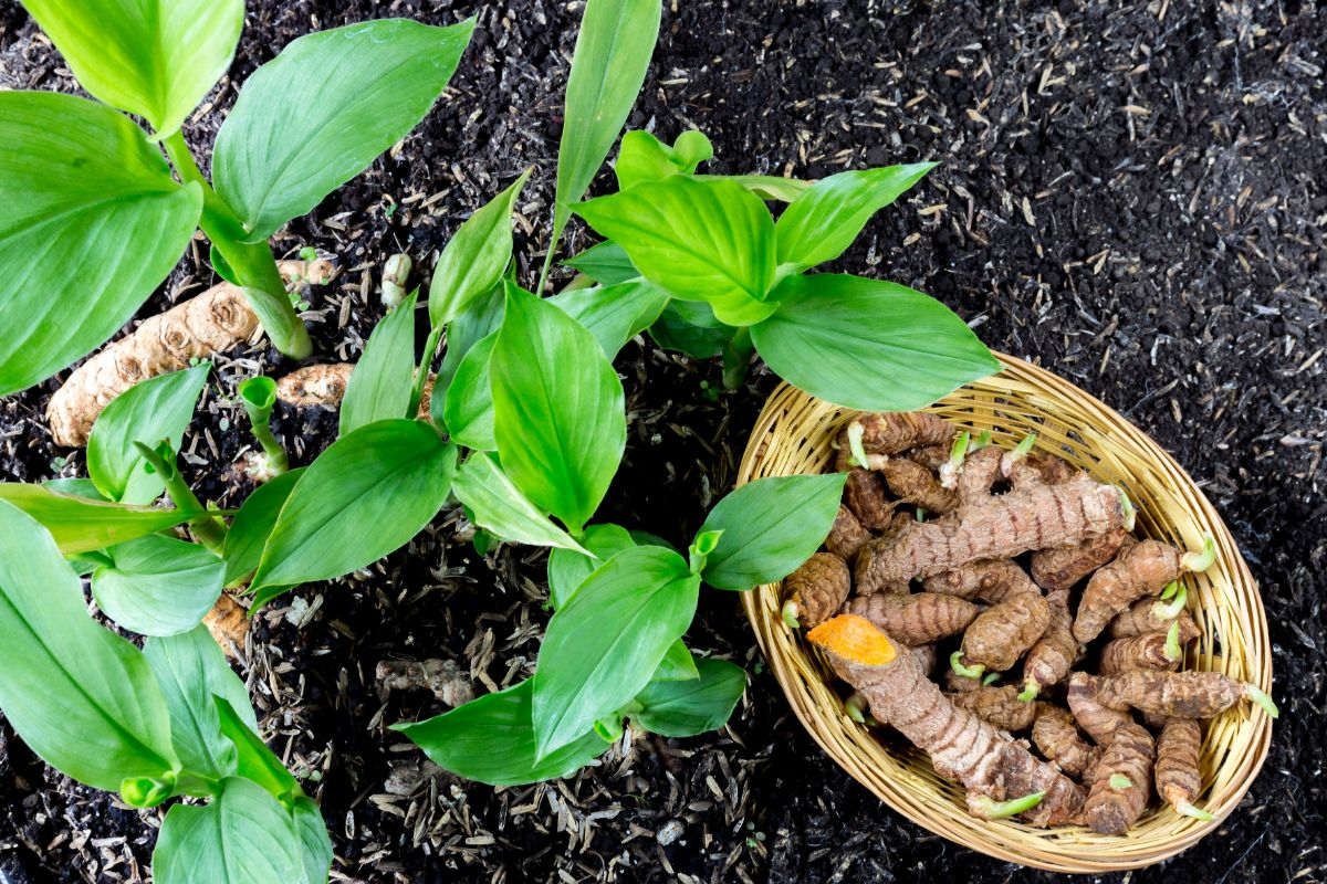 turmeric plant and seedling in a garden ground