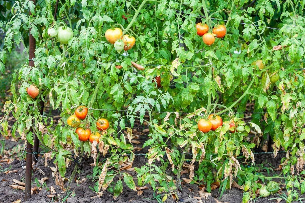 tomato plant during rainy day