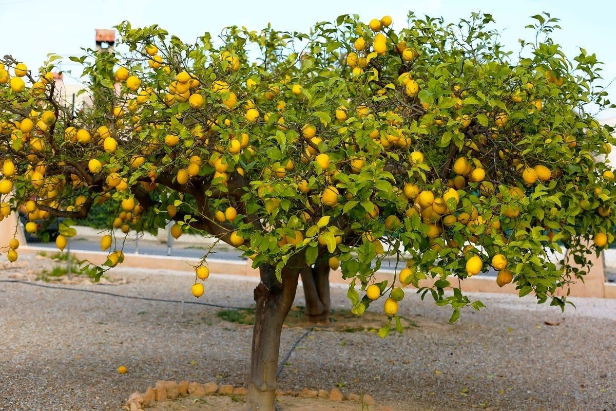 a giant lemon tree bearing fruits