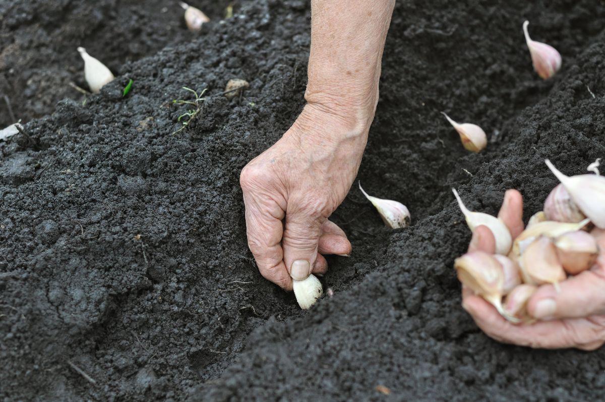 planting garlic in the soil