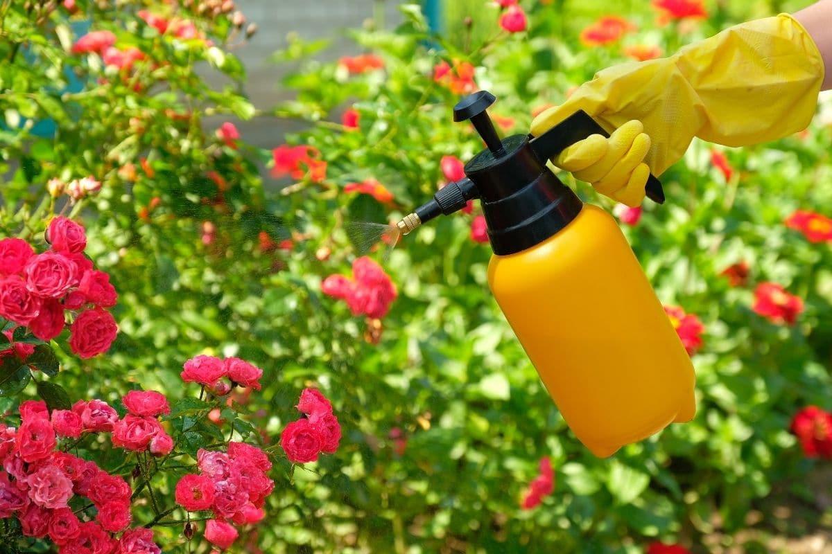 spraying roses in the garden