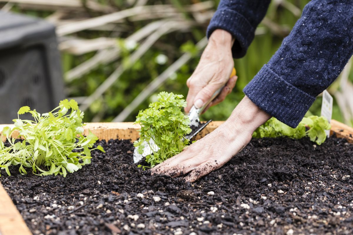 planting a luttuce seedling in a raised bed