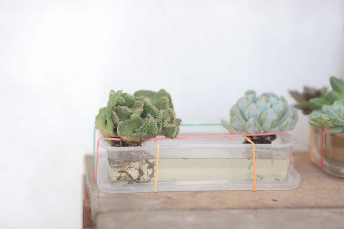 succulent plant water propagation
