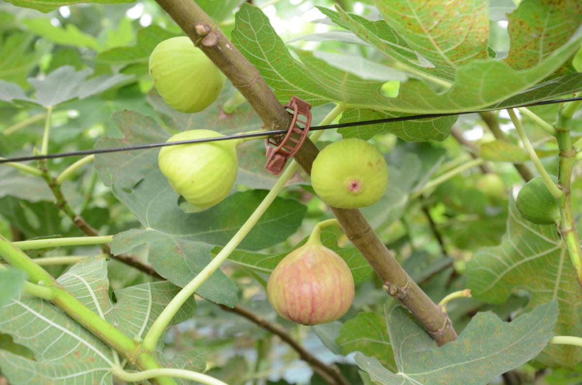 fig fruits in a tree