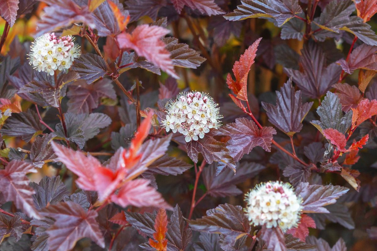 red leaves of ninebark with blooming white flowers in the garden