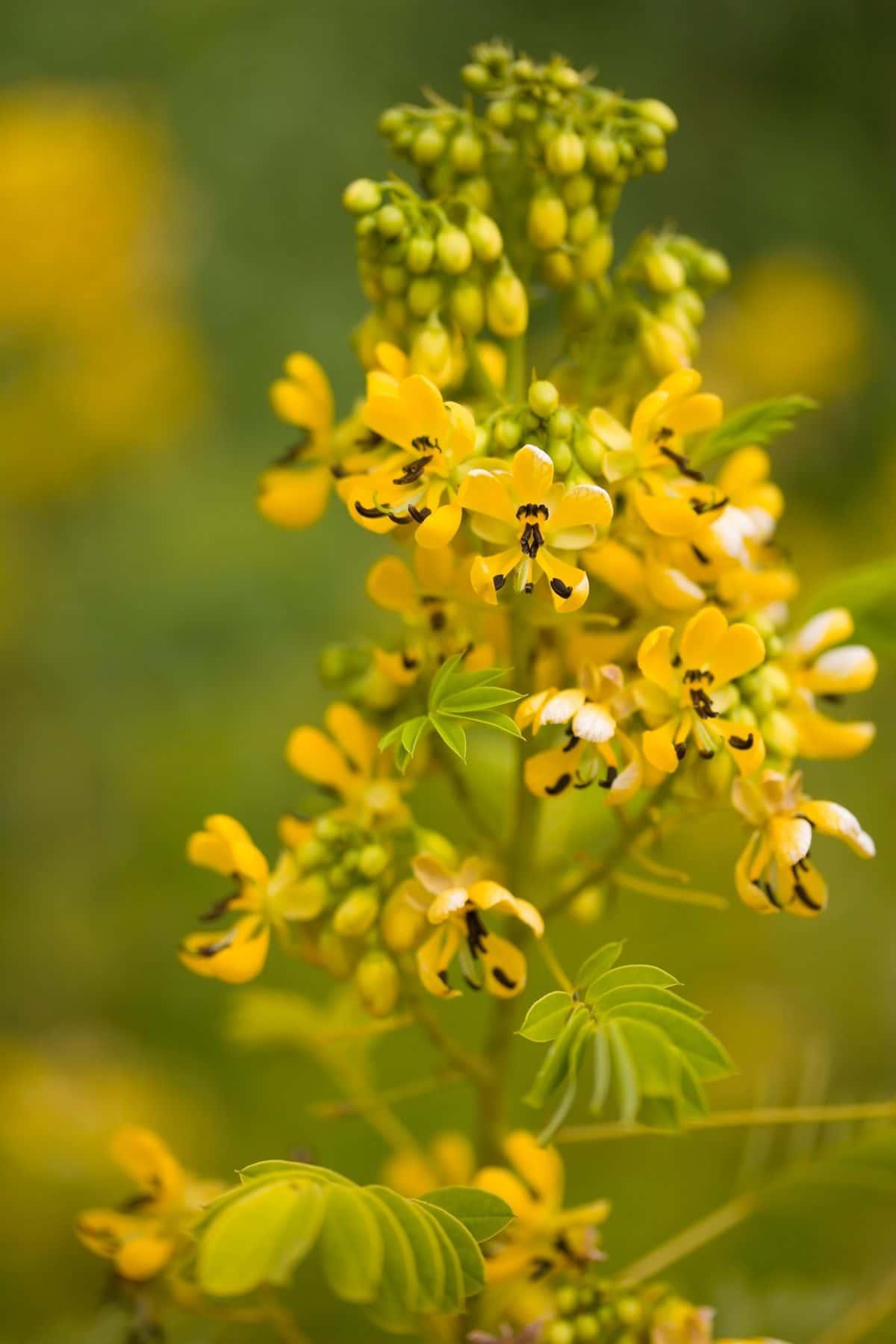 yellow senna lindheimeriana flower