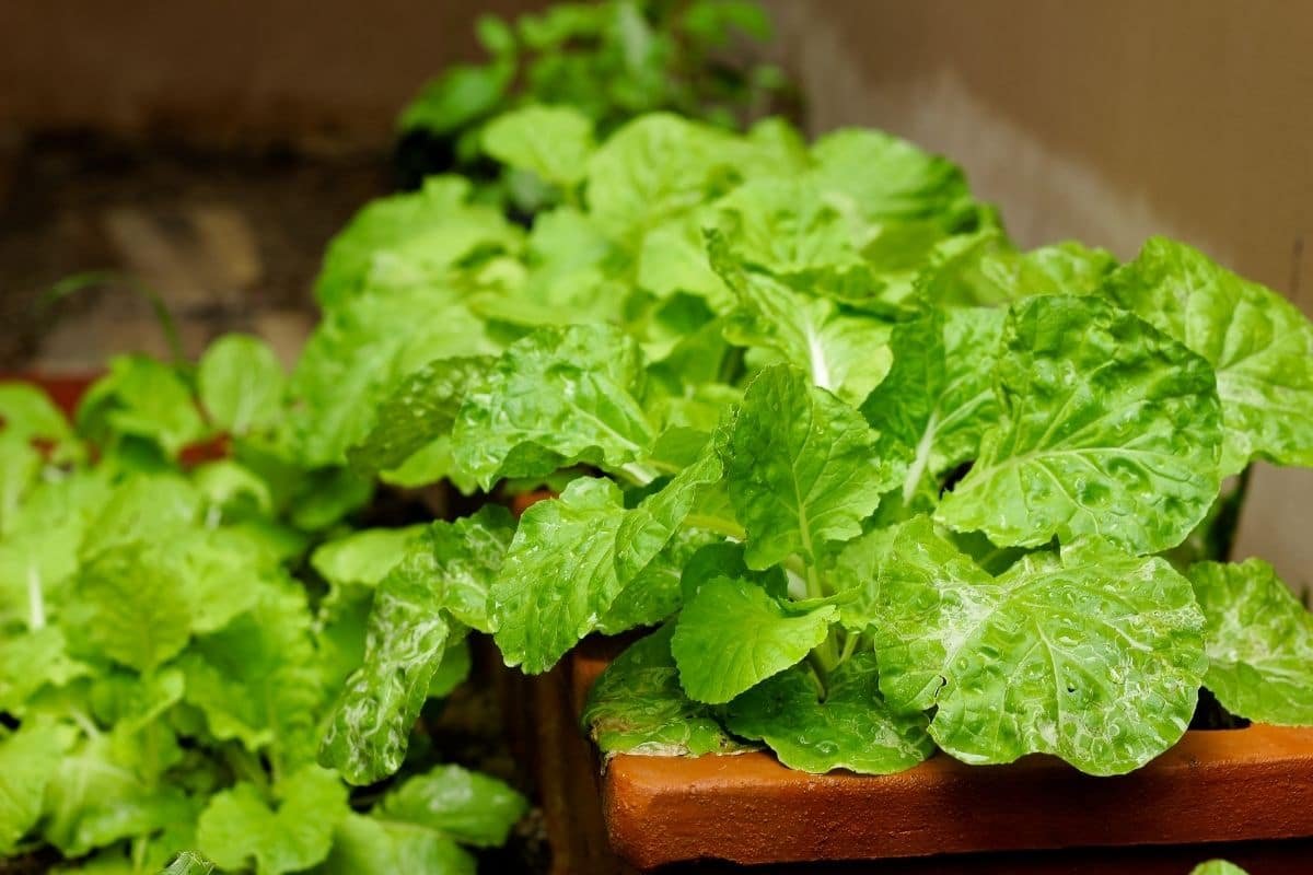 young turnip greens in a pot